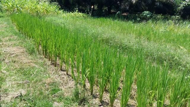Lahan pekarangan yang digunakan warga Ensalang untuk lahan pertanian modern.