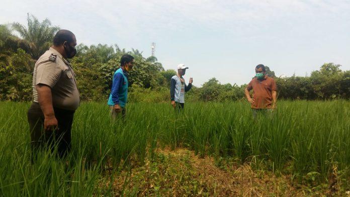Kanit Binmas Polsek Sekadau Hilir, AIPDA Hamdun Sudarno saat menjelaskan lahan pertanian padi modern yang dibuat tanpa dibakar.