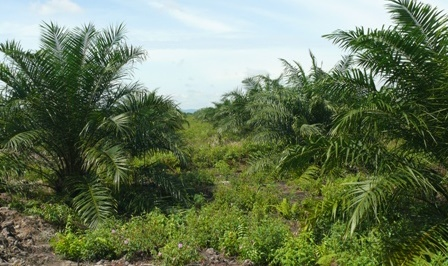 sektor perkebunan yang tidak terpengaruh dengan pandemi covid-19 adalah komoditi kelapa sawit.